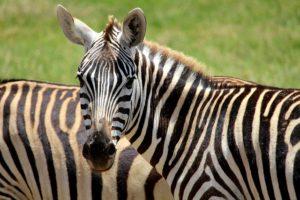 Dětské básničky: Zebro, zebro pruhovaná (z rubriky Básničky o zvířátkách)
