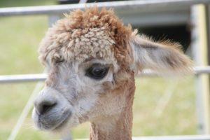 Dětské básničky: Lama má sádru (z rubrik Říkanky pro nejmenší, Básničky o zvířátkách)