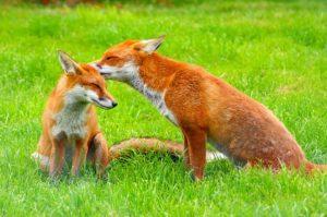 Dětské básničky: Dvě lišky a knížka (z rubrik Básničky o zvířátkách, Básničky o pohádkových bytostech, Vtipné básničky)